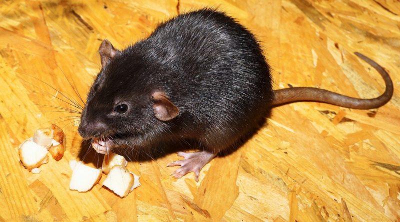 Infestation de rats